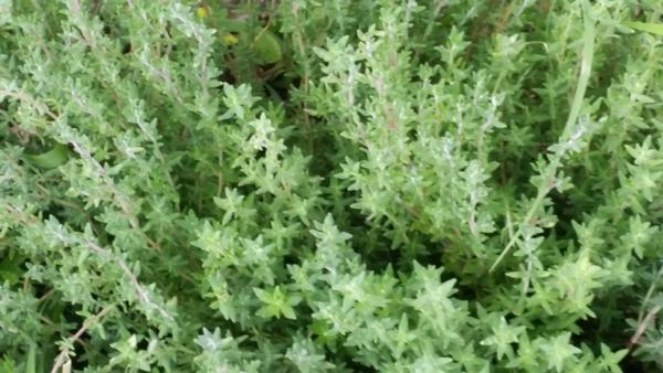 Thyme - Organically Grown  (bunch)