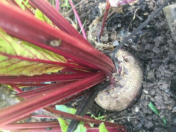 Beets - Organically Grown
